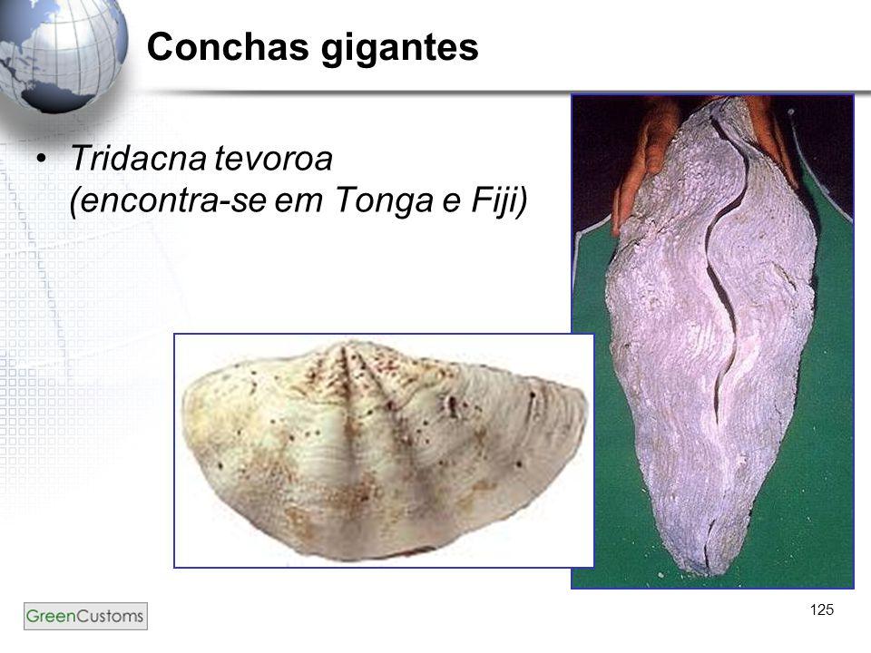 125 Conchas gigantes Tridacna tevoroa (encontra-se em Tonga e Fiji)