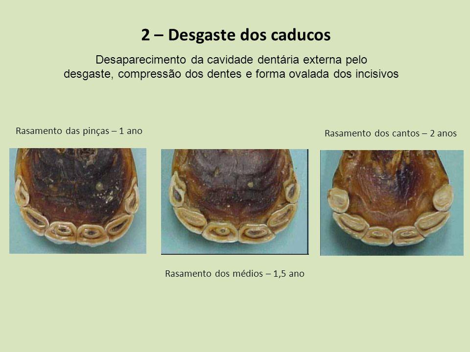 2 – Desgaste dos caducos Desaparecimento da cavidade dentária externa pelo desgaste, compressão dos dentes e forma ovalada dos incisivos Rasamento das