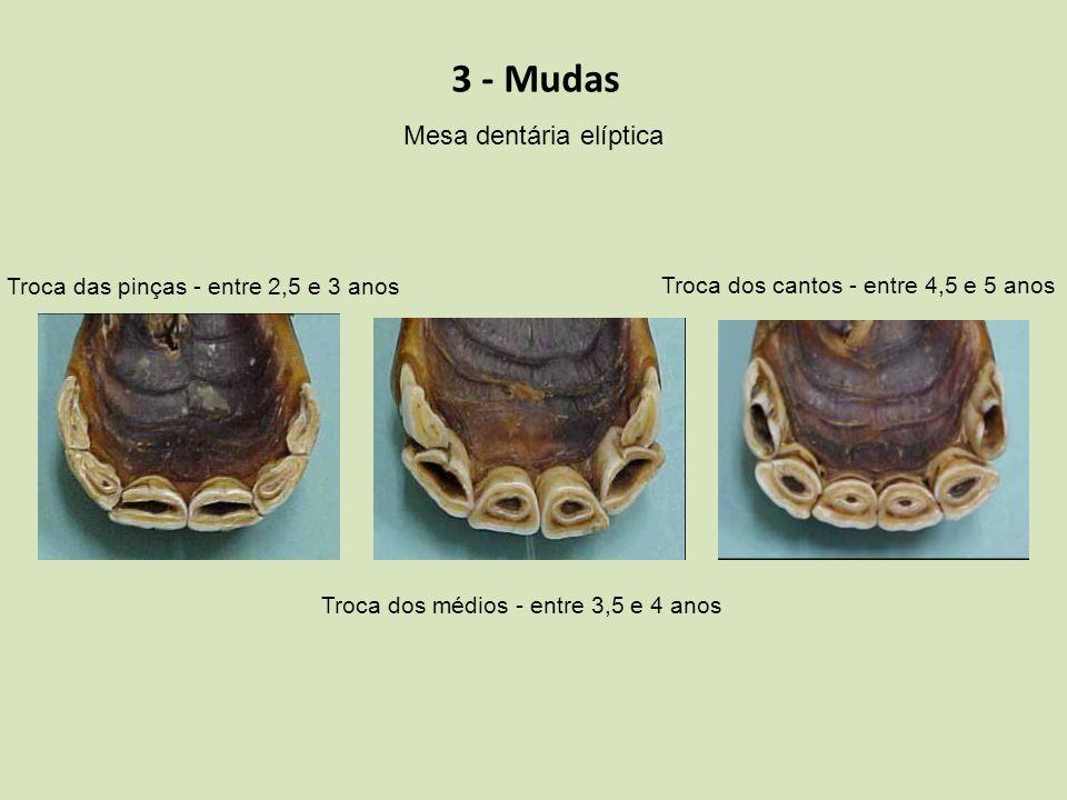 3 - Mudas Mesa dentária elíptica Troca das pinças - entre 2,5 e 3 anos Troca dos médios - entre 3,5 e 4 anos Troca dos cantos - entre 4,5 e 5 anos