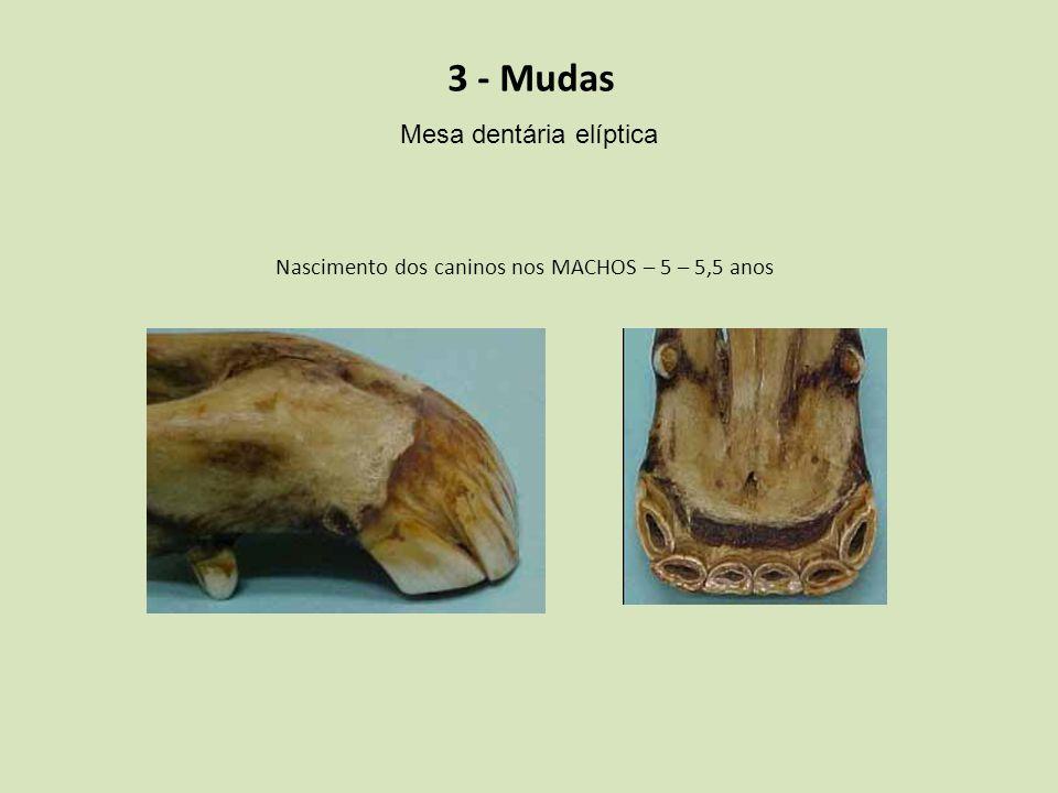 3 - Mudas Mesa dentária elíptica Nascimento dos caninos nos MACHOS – 5 – 5,5 anos