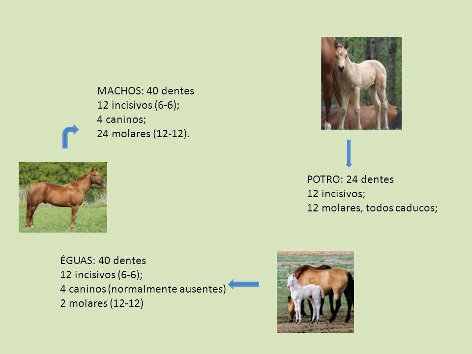 MACHOS: 40 dentes 12 incisivos (6-6); 4 caninos; 24 molares (12-12). POTRO: 24 dentes 12 incisivos; 12 molares, todos caducos; ÉGUAS: 40 dentes 12 inc