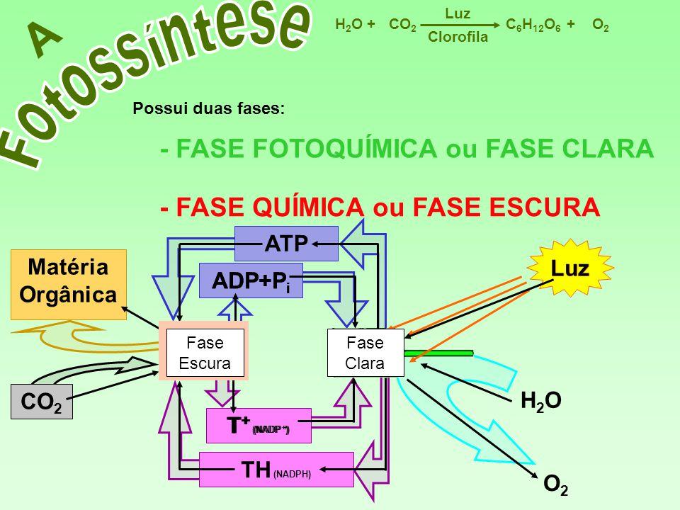 T + (NADP + ) TH (NADPH) Matéria Orgânica CO 2 ADP+P i ATP C 6 H 12 O 6 CO 2 H2OH2OO2O2 Luz ++ Clorofila A Possui duas fases: - FASE FOTOQUÍMICA ou FA