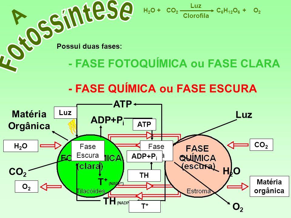 NADPH TH Matéria Orgânica CO 2 TH (NADPH) ATP C 6 H 12 O 6 CO 2 H2OH2OO2O2 Luz ++ Clorofila A Possui duas fases: - FASE FOTOQUÍMICA ou FASE CLARA - FA