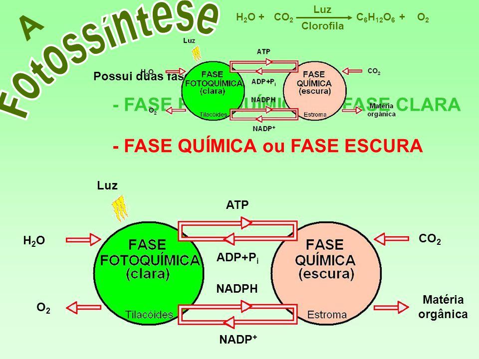 Matéria orgânica CO 2 NADPH NADP + ATP ADP+P i O2O2 Luz H2OH2O A Possui duas fases: - FASE FOTOQUÍMICA ou FASE CLARA - FASE QUÍMICA ou FASE ESCURA C 6