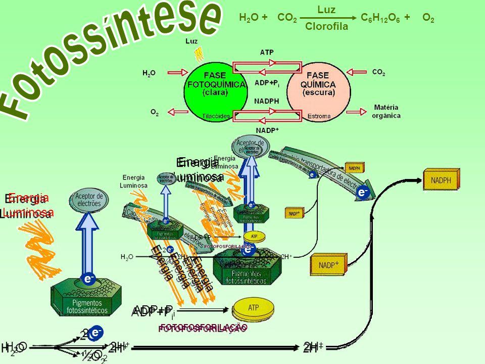 e-e- C 6 H 12 O 6 CO 2 H2OH2OO2O2 Luz ++ Clorofila Energia Luminosa H2OH2O 2 ½O 2 2H + e-e- e-e- ADP+P i Energia Energia Luminosa FOTOFOSFORILAÇÃO e-e