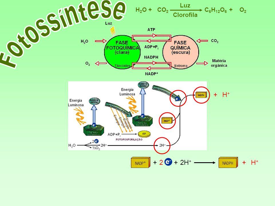 C 6 H 12 O 6 CO 2 H2OH2OO2O2 Luz ++ Clorofila 2H + e-e- +2+H+H+ + H+H+ +