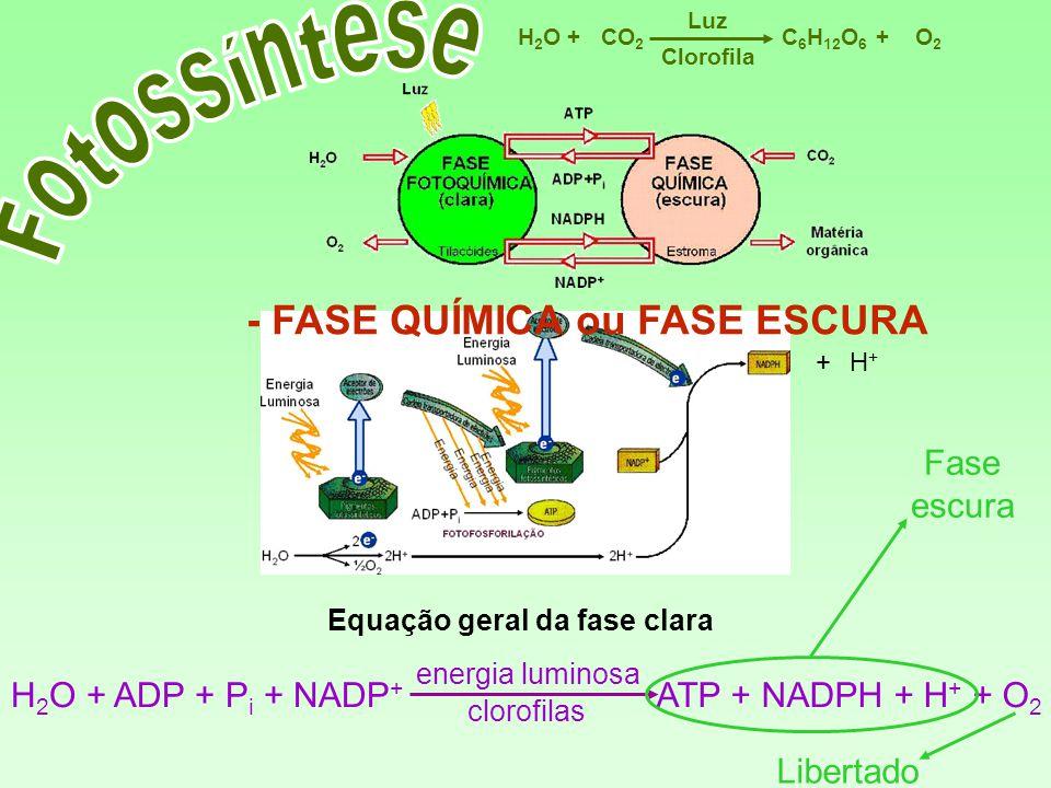 C 6 H 12 O 6 CO 2 H2OH2OO2O2 Luz ++ Clorofila H+H+ + Equação geral da fase clara H 2 O + ADP + P i + NADP + ATP + NADPH + H + + O 2 energia luminosa c