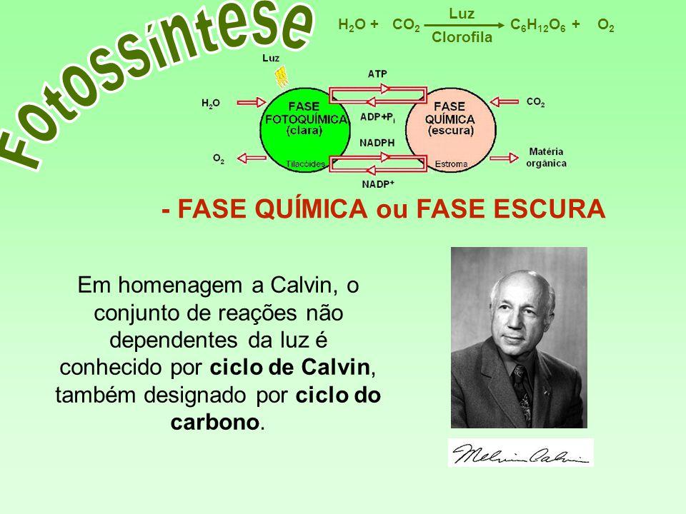 C 6 H 12 O 6 CO 2 H2OH2OO2O2 Luz ++ Clorofila - FASE QUÍMICA ou FASE ESCURA Em homenagem a Calvin, o conjunto de reações não dependentes da luz é conh