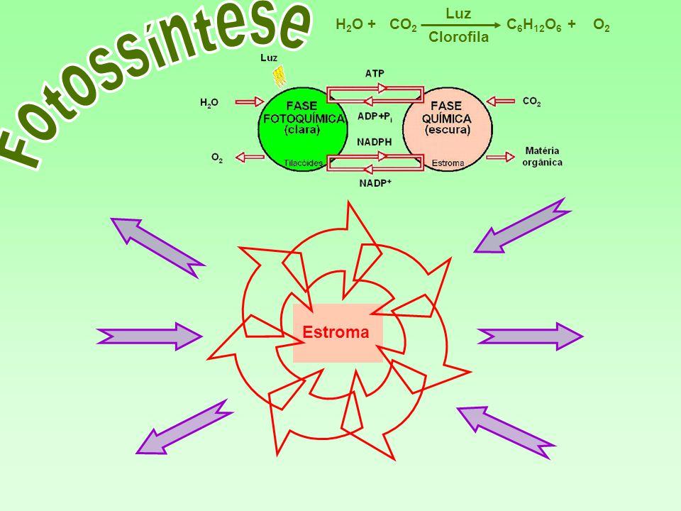 C 6 H 12 O 6 CO 2 H2OH2OO2O2 Luz ++ Clorofila Estroma