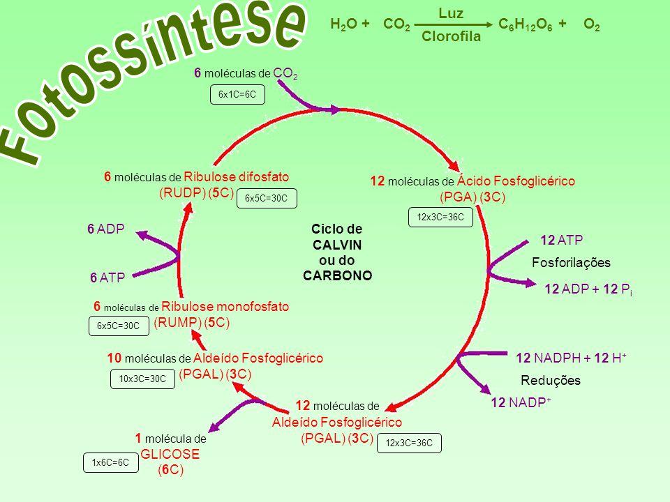6 moléculas de Ribulose difosfato (RUDP) (5C) 12 moléculas de Ácido Fosfoglicérico (PGA) (3C) 12 moléculas de Aldeído Fosfoglicérico (PGAL) (3C) 6 mol