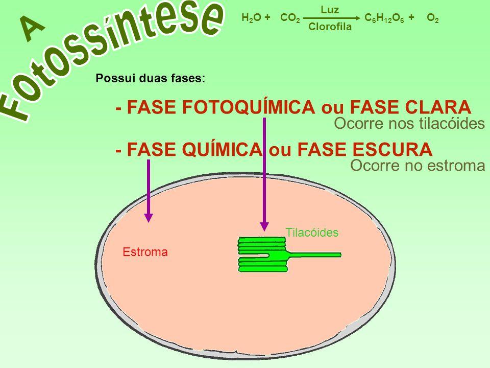 C 6 H 12 O 6 CO 2 H2OH2OO2O2 Luz ++ Clorofila A Possui duas fases: - FASE FOTOQUÍMICA ou FASE CLARA Ocorre nos tilacóides Ocorre no estroma - FASE QUÍ
