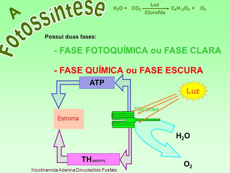 C 6 H 12 O 6 CO 2 H2OH2OO2O2 Luz ++ Clorofila A Possui duas fases: - FASE FOTOQUÍMICA ou FASE CLARA - FASE QUÍMICA ou FASE ESCURA H 2 O Estroma Tilacó