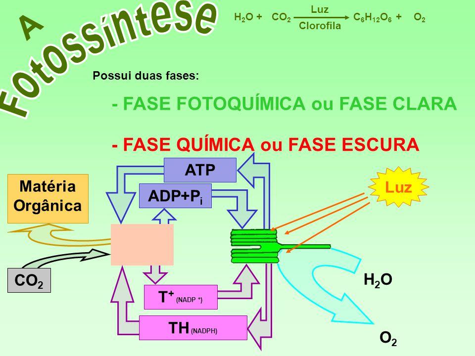 C 6 H 12 O 6 CO 2 H2OH2OO2O2 Luz ++ Clorofila A Possui duas fases: - FASE FOTOQUÍMICA ou FASE CLARA - FASE QUÍMICA ou FASE ESCURA H2OH2O O2O2 Luz TH (