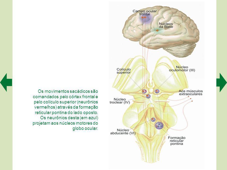 A representação dos movimentos oculares no colículo superior pode ser revelada experimentalmente.