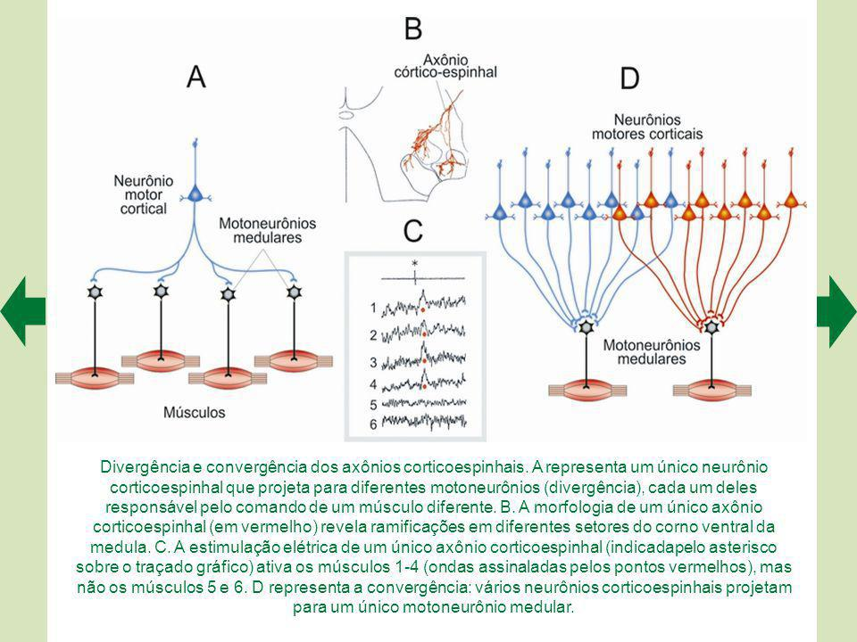 A somatotopia é um importante princípio de organização de M1.