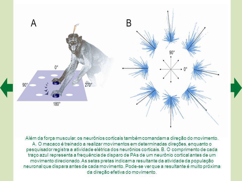 Na técnica de estimulação magnética transcraniana (A), estimulando-se o córtex motor primário (M1), obtém-se um potencial evocado motor no músculo oponente do polegar, graças à ativação corticoespinhal e ao registro por meio de eletrodos posicionados sobre o músculo (foto abaixo).