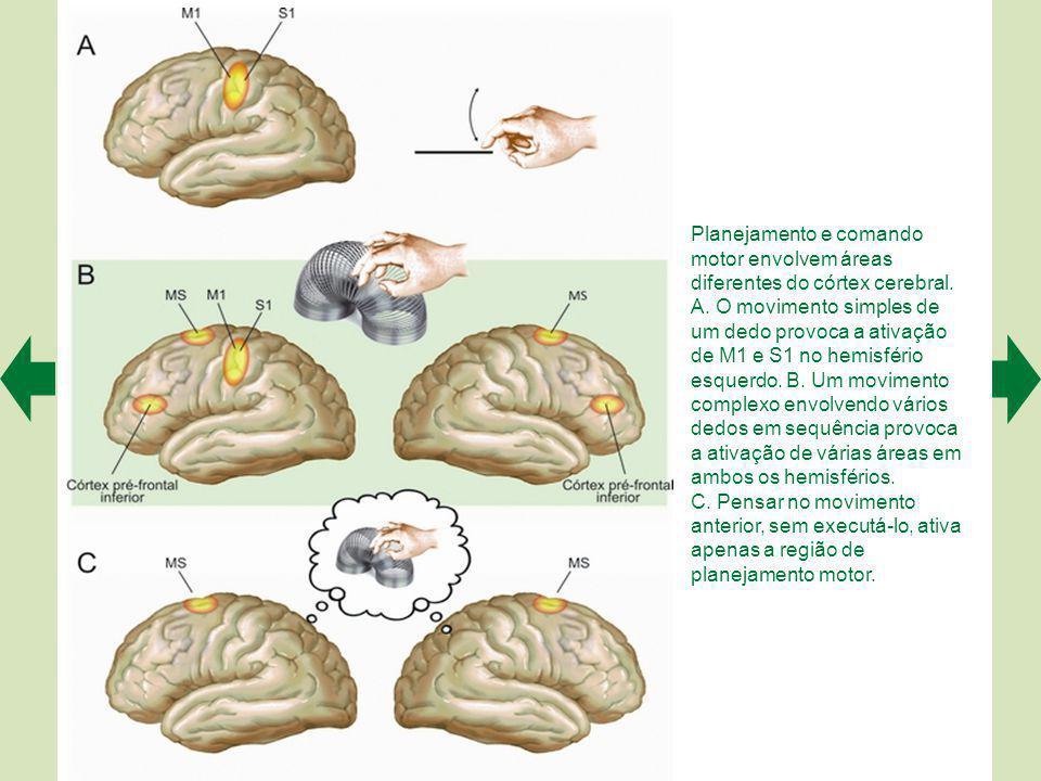 Além da força muscular, os neurônios corticais também comandam a direção do movimento.