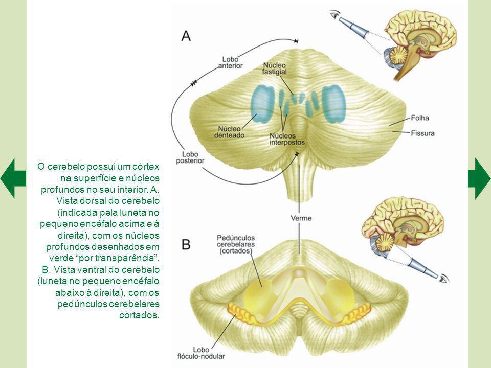 A. Regiões onde foram encontrados neurôniosespelho, ligadas estritamente ao sistema visuomotor do córtex (em azul), a sistemas cognitivos complexos (e