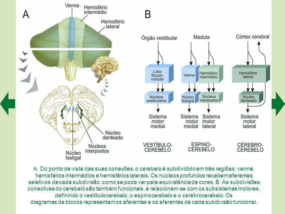 O cerebelo possui um córtex na superfície e núcleos profundos no seu interior.