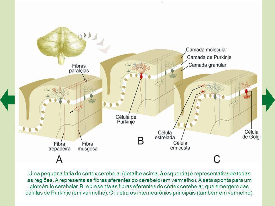 A. Do ponto de vista das suas conexões, o cerebelo é subdividido em três regiões: verme, hemisférios intermédios e hemisférios laterais. Os núcleos pr