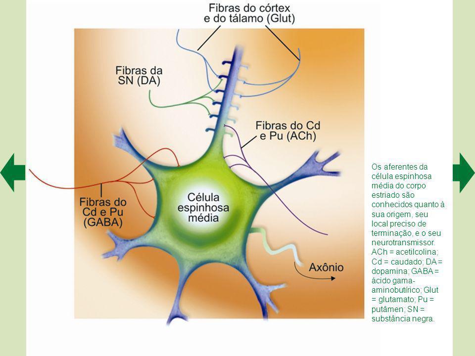 As informações de entrada que o corpo estriado processa vêm de extensas regiões do córtex cerebral (A), enquanto as informações de saída seguem para certos núcleos do tálamo, que as transmite para as regiões motoras do córtex, e para o colículo superior do mesencéfalo (B).