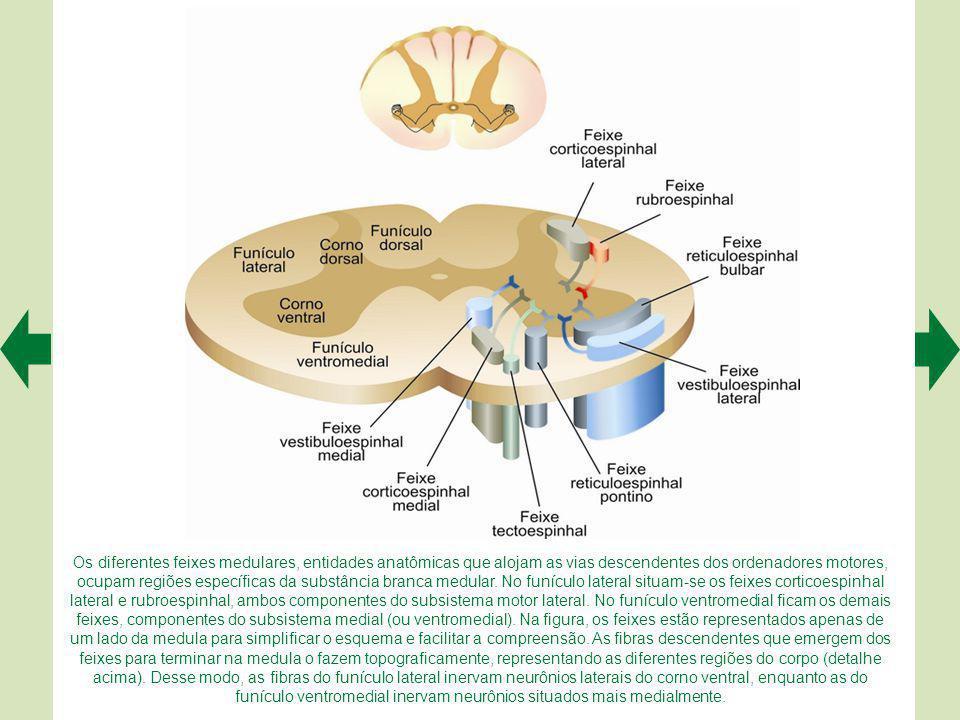 Os axônios do feixe piramidal (em vermelho) formam as pirâmides bulbares na superfície ventral do tronco encefálico, e cruzam na decussação piramidal, visível a olho nu.