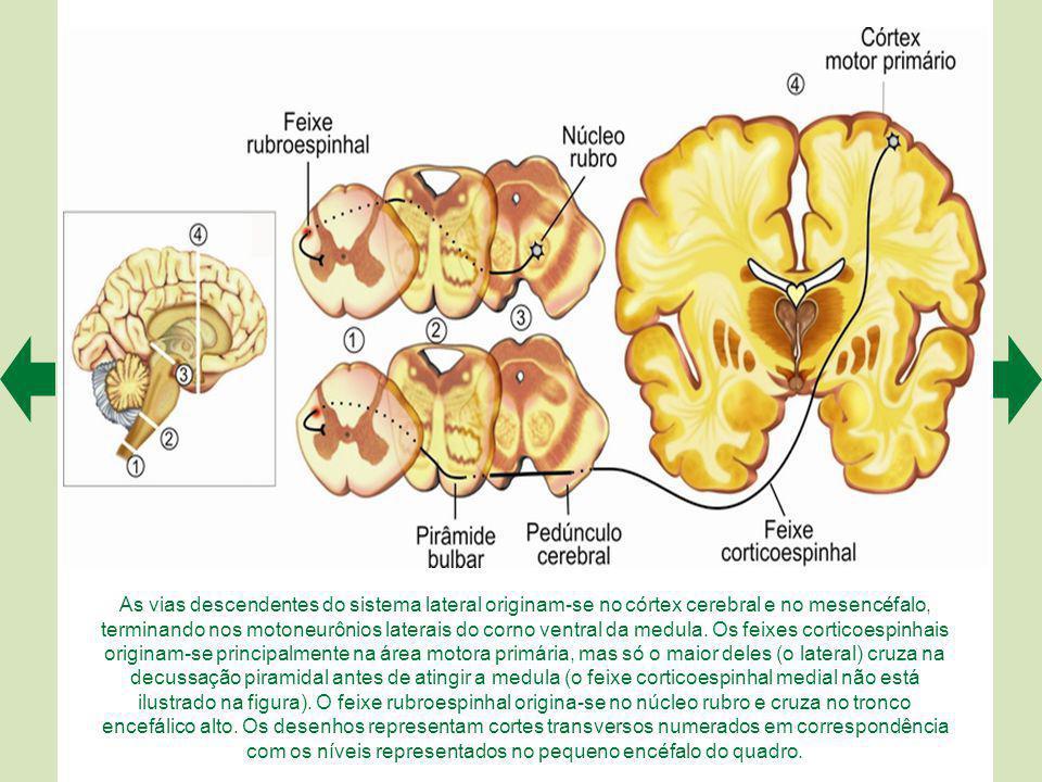 As vias descendentes do sistema medial originam-se de diferentes regiões do tronco encefálico, mas todas terminam em motoneurônios mediais do corno ventral da medula.
