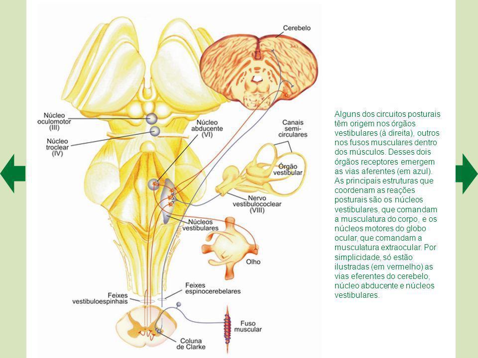 As vias descendentes do sistema lateral originam-se no córtex cerebral e no mesencéfalo, terminando nos motoneurônios laterais do corno ventral da medula.