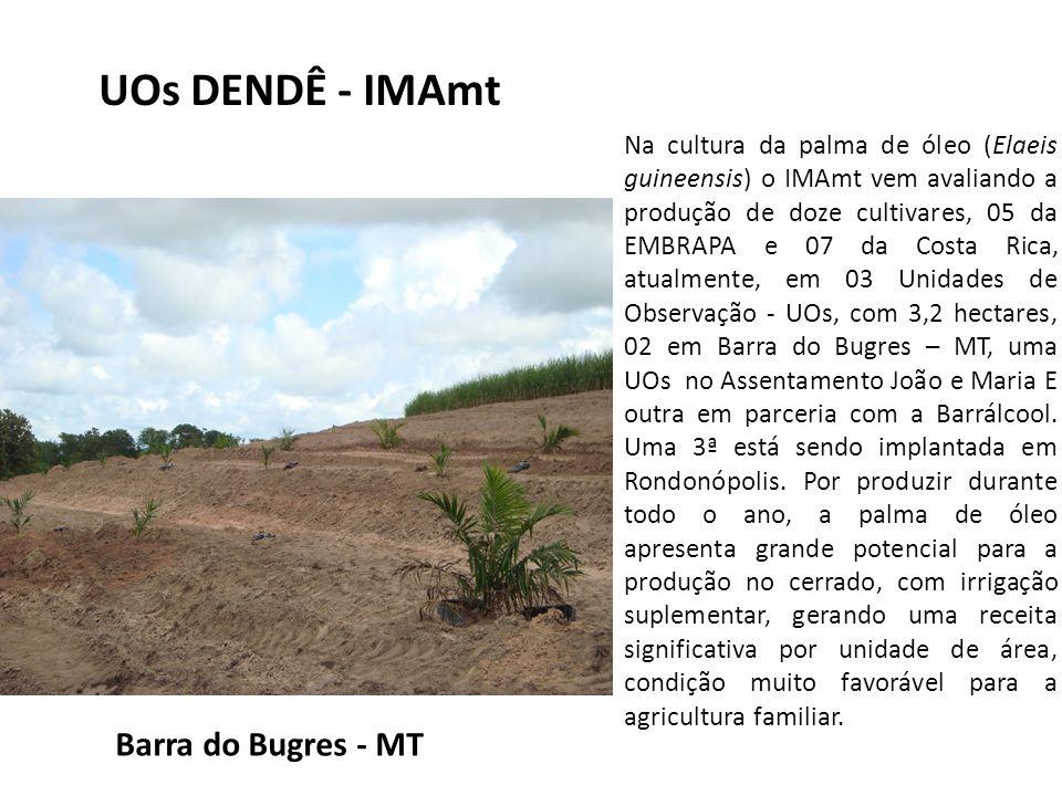 Na cultura da palma de óleo (Elaeis guineensis) o IMAmt vem avaliando a produção de doze cultivares, 05 da EMBRAPA e 07 da Costa Rica, atualmente, em 03 Unidades de Observação - UOs, com 3,2 hectares, 02 em Barra do Bugres – MT, uma UOs no Assentamento João e Maria E outra em parceria com a Barrálcool.