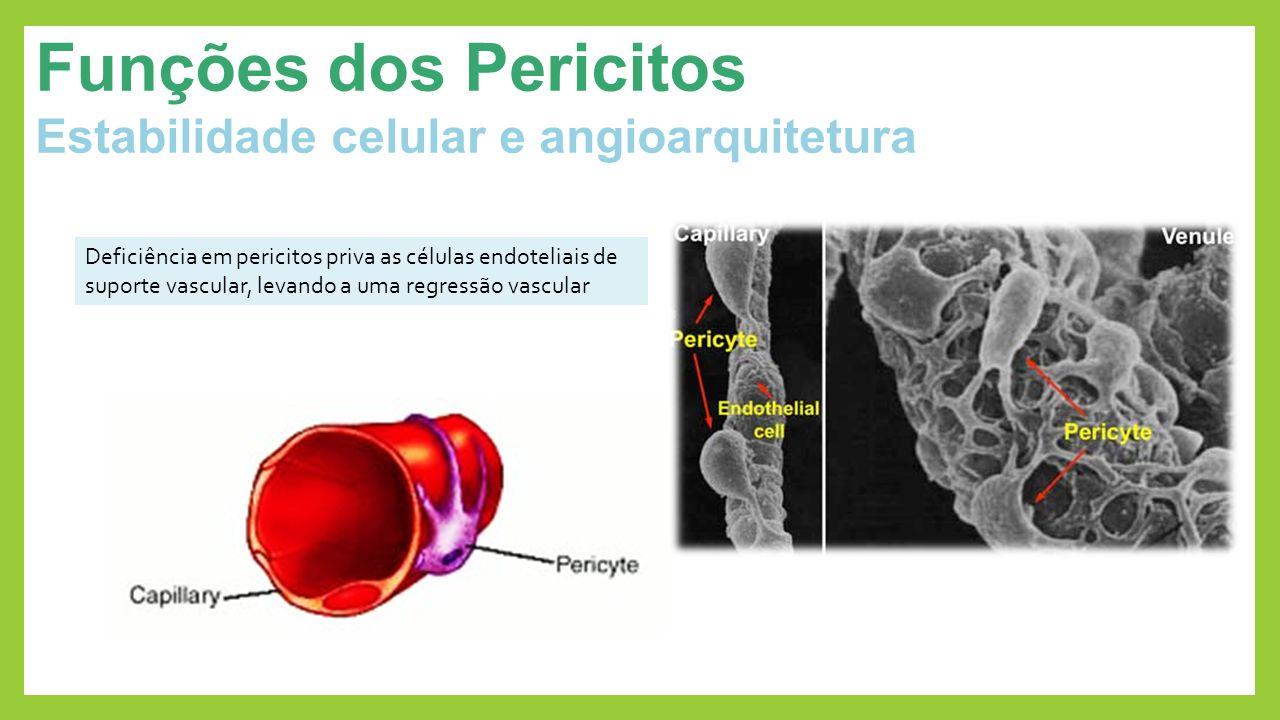 Funções dos Pericitos Estabilidade celular e angioarquitetura Deficiência em pericitos priva as células endoteliais de suporte vascular, levando a uma