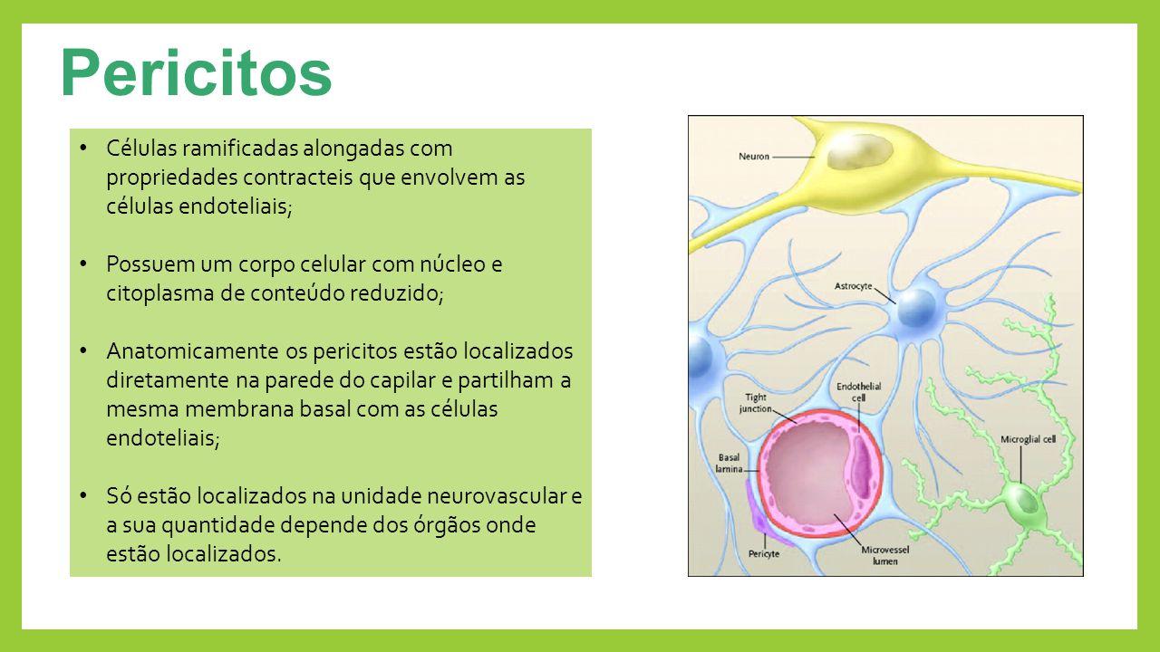 Pericitos Células ramificadas alongadas com propriedades contracteis que envolvem as células endoteliais; Possuem um corpo celular com núcleo e citopl