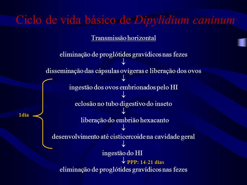 Ciclo de vida básico de Dipylidium caninum Transmissão horizontal eliminação de proglótides gravídicos nas fezes  disseminação das cápsulas ovígeras