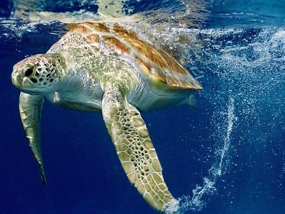 Ordem Chelonia (quelônios) Jabutis e tartarugas EX: Jabutis e tartarugas