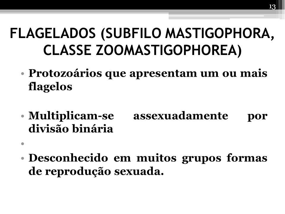 FLAGELADOS (SUBFILO MASTIGOPHORA, CLASSE ZOOMASTIGOPHOREA) Protozoários que apresentam um ou mais flagelos Multiplicam-se assexuadamente por divisão b