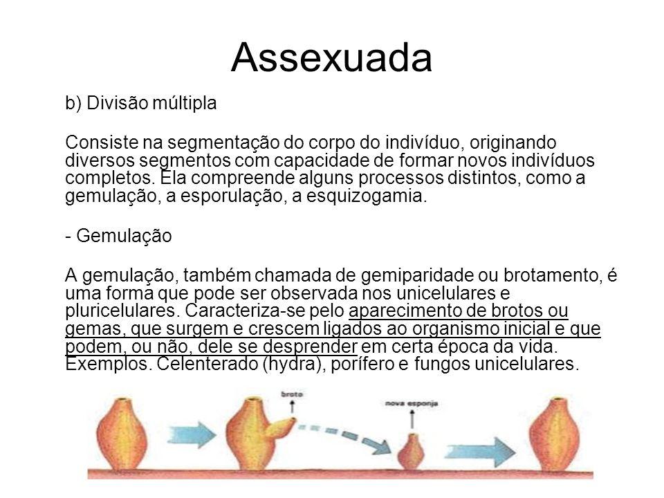 Assexuada b) Divisão múltipla Consiste na segmentação do corpo do indivíduo, originando diversos segmentos com capacidade de formar novos indivíduos c