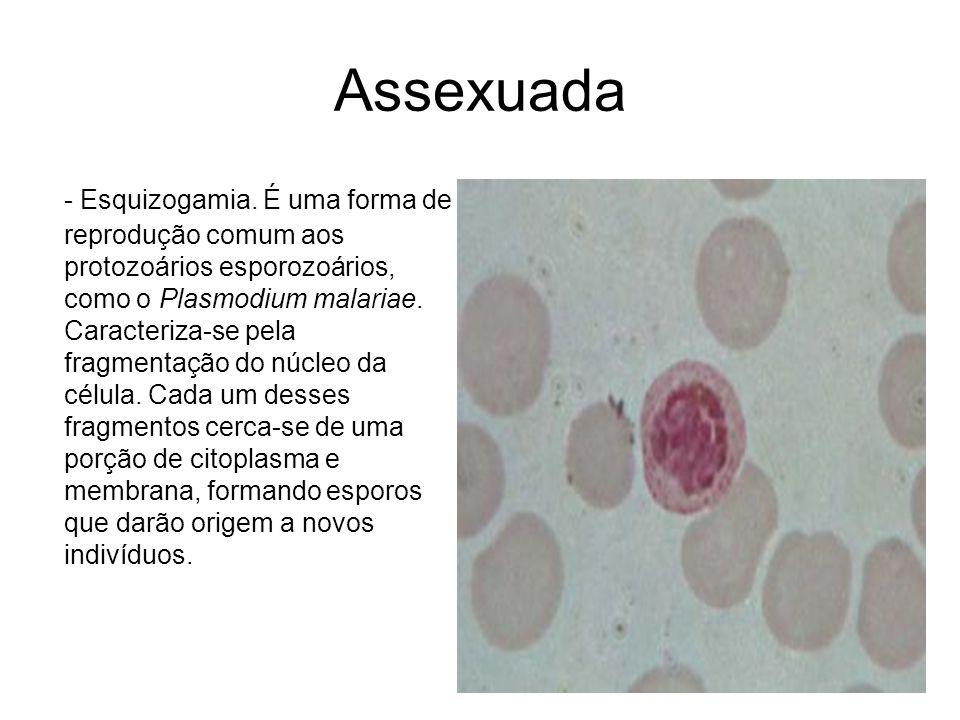 Assexuada - Esquizogamia. É uma forma de reprodução comum aos protozoários esporozoários, como o Plasmodium malariae. Caracteriza-se pela fragmentação