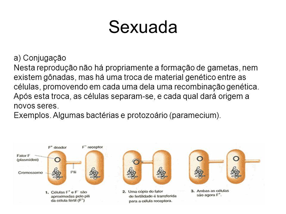 Sexuada a) Conjugação Nesta reprodução não há propriamente a formação de gametas, nem existem gônadas, mas há uma troca de material genético entre as