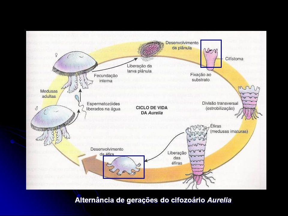 Alternância de gerações do cifozoário Aurelia