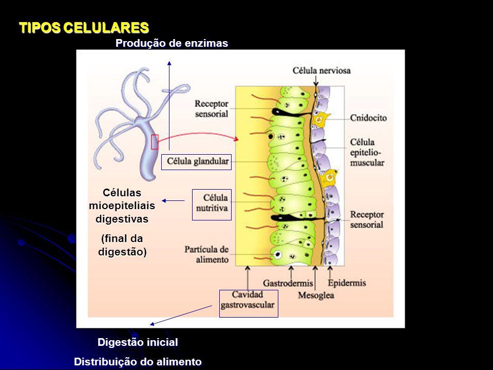 TIPOS CELULARES Digestão inicial Distribuição do alimento Células mioepiteliais digestivas (final da digestão) Produção de enzimas