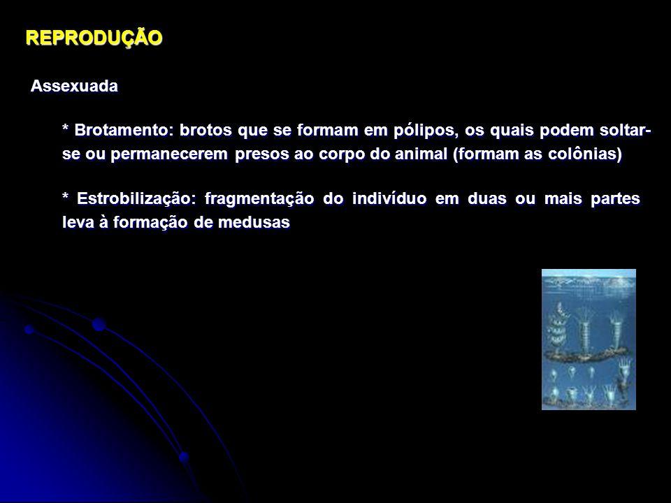 REPRODUÇÃOAssexuada * Brotamento: brotos que se formam em pólipos, os quais podem soltar- se ou permanecerem presos ao corpo do animal (formam as colônias) * Estrobilização: fragmentação do indivíduo em duas ou mais partes leva à formação de medusas