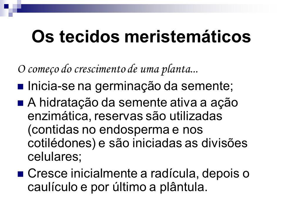 Os tecidos meristemáticos O começo do crescimento de uma planta... Inicia-se na germinação da semente; A hidratação da semente ativa a ação enzimática