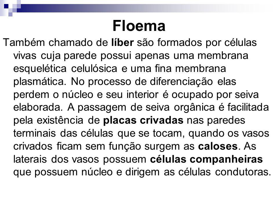Floema Também chamado de líber são formados por células vivas cuja parede possui apenas uma membrana esquelética celulósica e uma fina membrana plasmá