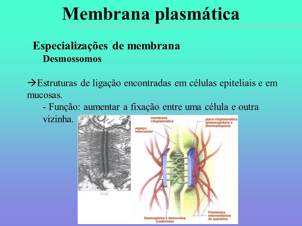 Especializações de membrana Desmossomos  Estruturas de ligação encontradas em células epiteliais e em mucosas.