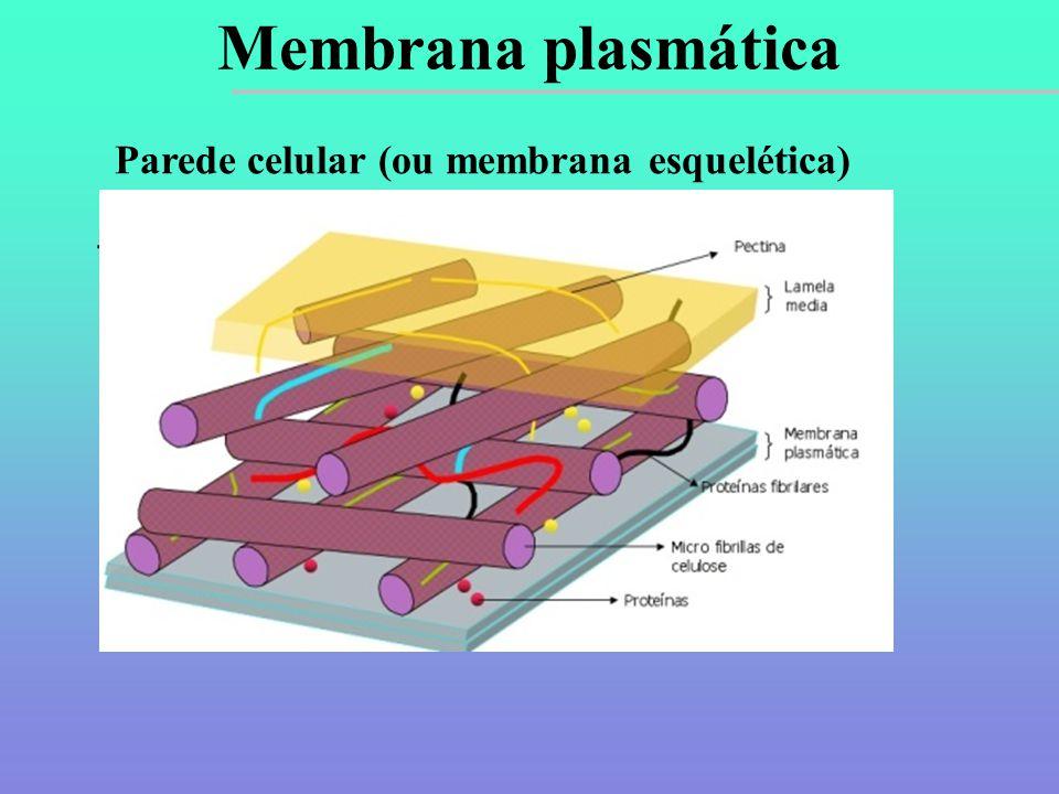 Parede celular (ou membrana esquelética)  Funções: sustentação, proteção e revestimento.