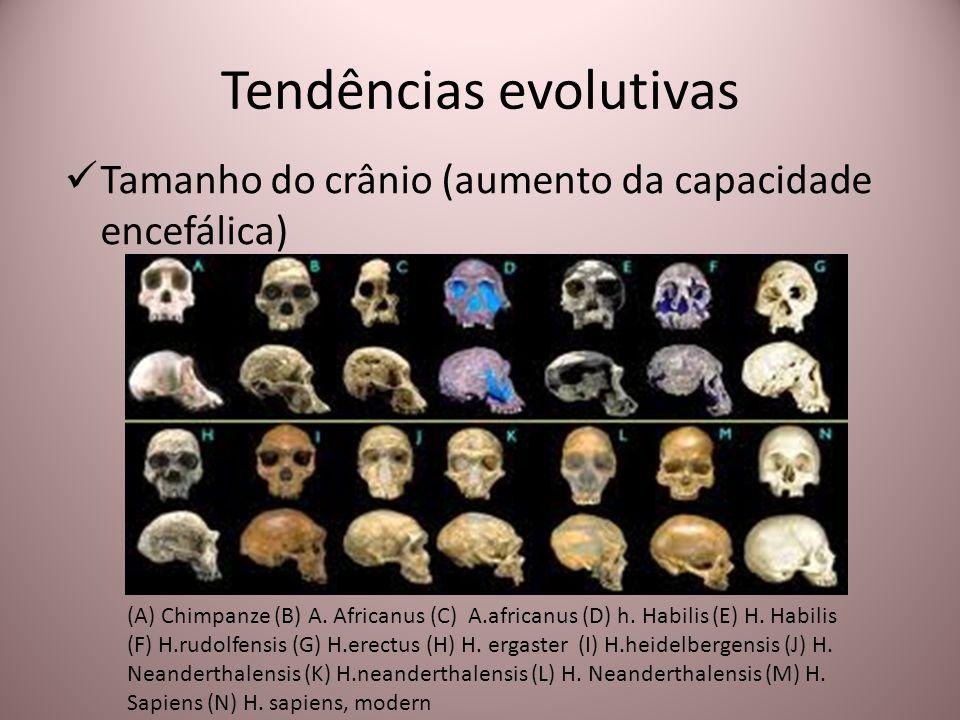 Tendências evolutivas Tamanho do crânio (aumento da capacidade encefálica) (A) Chimpanze (B) A. Africanus (C) A.africanus (D) h. Habilis (E) H. Habili