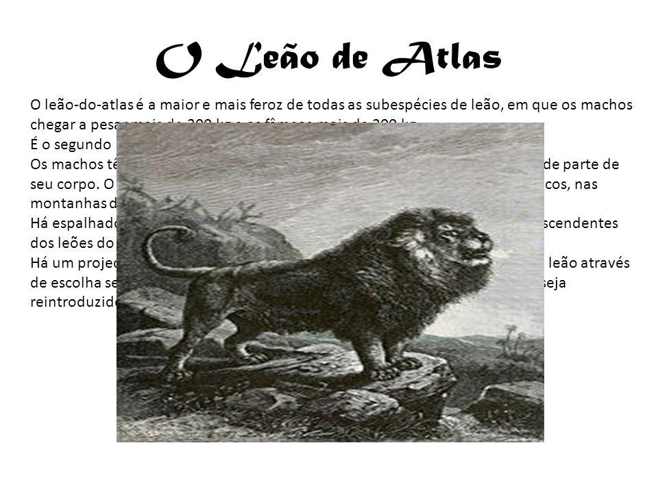 O Leão de Atlas O leão-do-atlas é a maior e mais feroz de todas as subespécies de leão, em que os machos chegar a pesar mais de 300 kg e as fêmeas mai