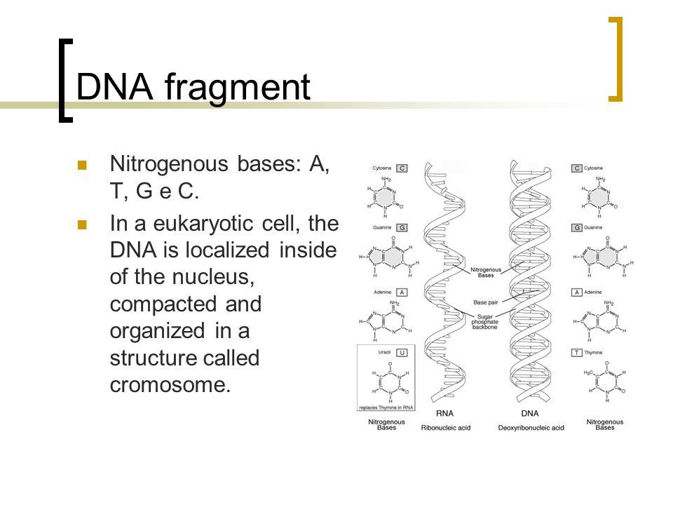 DNA fragment Nitrogenous bases: A, T, G e C.