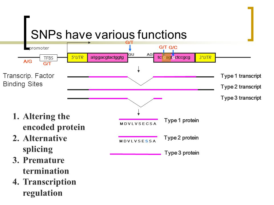 atggacgtactggtg 5'UTR TFBS promoter tctgagtgctccgcg GUAG 3'UTR Type 1 transcript M D V L V S E C S A Type 1 protein M D V L V S E S S A Type 2 protein 1.Altering the encoded protein 2.Alternative splicing 3.Premature termination 4.Transcription regulation Type 2 transcript Type 3 protein Type 3 transcript G/C G/T A/G Transcrip.