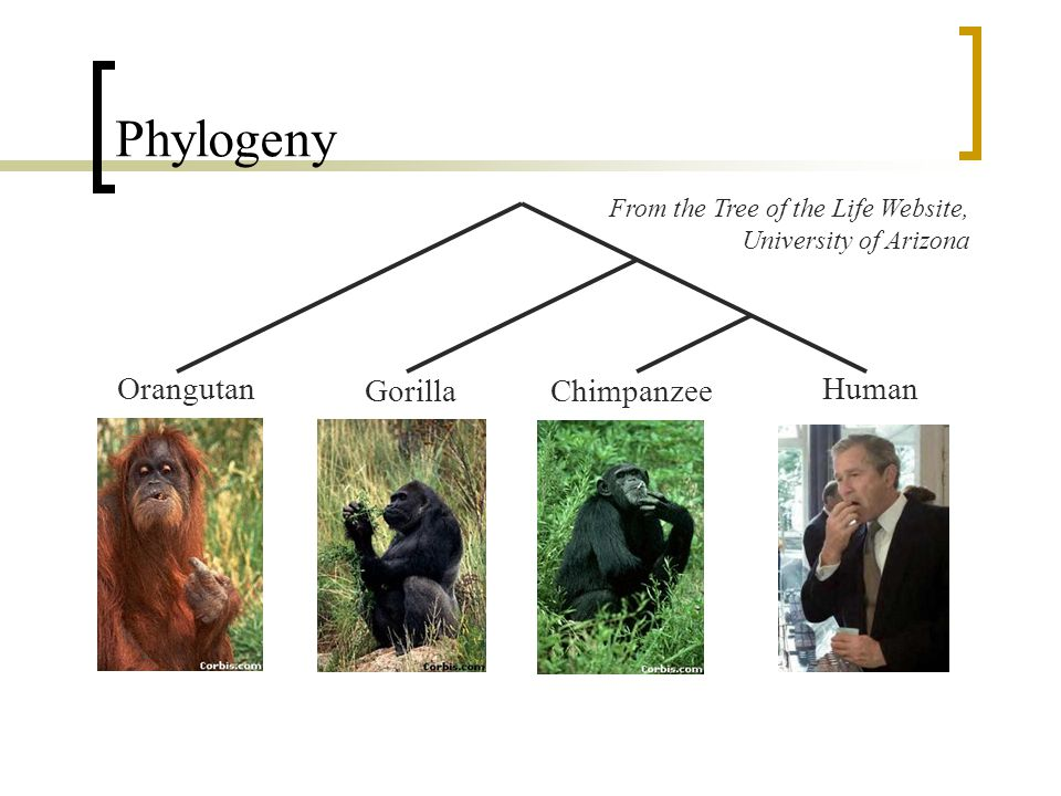 Phylogeny Orangutan GorillaChimpanzee Human From the Tree of the Life Website, University of Arizona