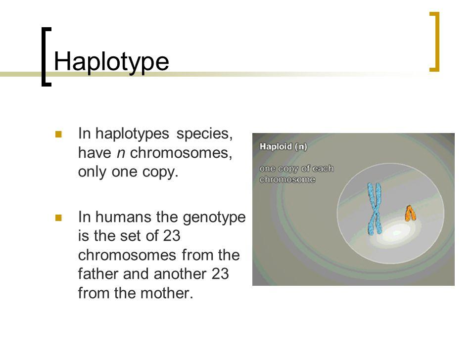 Haplotype In haplotypes species, have n chromosomes, only one copy.